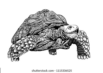 Royalty Free Tortoise Drawing Images Stock Photos Vectors