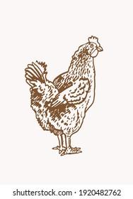 Graphical vintage hen ,sepia background, vector illustration