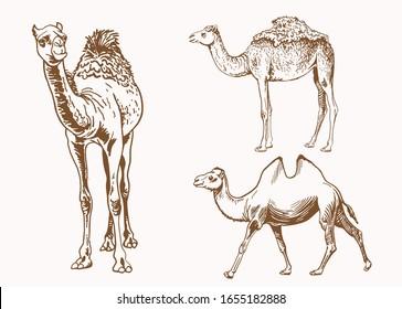 Graphical vintage set of camels , sepia illustration