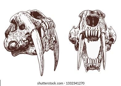 Graphical vintage set of  saber-toothed tiger skulls  ,vector illustration