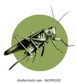 grasshopper locusts sketch the vector on a background of green circle
