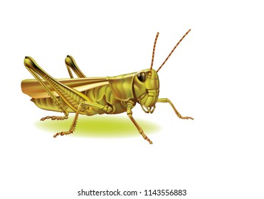 Grasshopper on a white background  [Tettigoniidae]