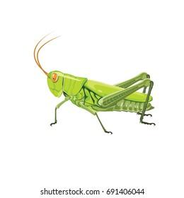 grasshopper on a white background. vector Illustration