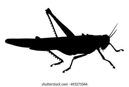 Grasshopper. Silhouette of grasshopper