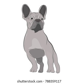 Gray french bulldog standing isolated on white background. Purebred canine hand drawn illustration.