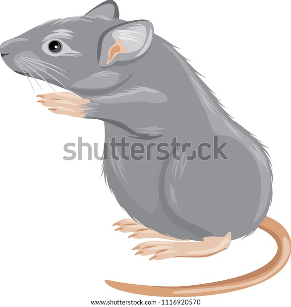 gray-mouse-isolated-on-white-600w-111692