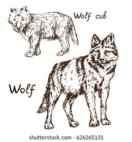 Gray Wolf (timber wolf or western wolf) cub and adult set, hand drawn doodle, sketch in pop art style, vector illustration
