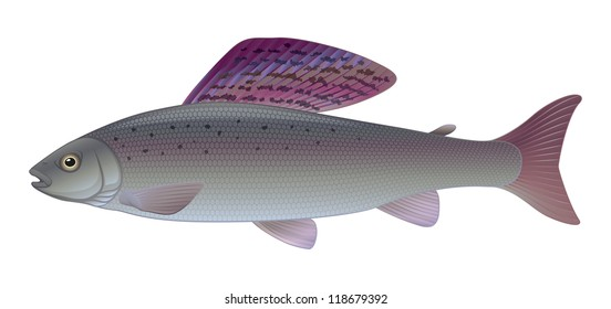 "Grayling - (Thymallus thymallus) Freshwater Sport Angler Fish ""Full compatible CMYK gradients"""