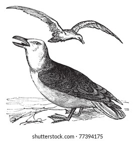 Great Black-backed Gull or Larus marinus, vintage engraving. Old engraved illustration of Great Black-backed Gull with bird flying over. Trousset Encyclopedia