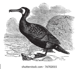 Great Cormorant or Great Black Cormorant or Black Cormorant or Black Shag or Phalacrocorax carbo, vintage engraving. Old engraved illustration of a Great Cormorant. Trousset Encyclopedia