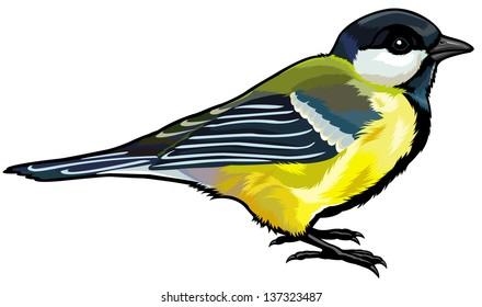 great titmouse side view,wild european bird,illustration isolated on white background