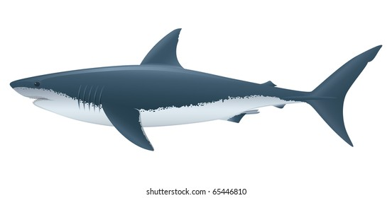 Great White Shark (Carcharodon carcharias) saltwater fish.