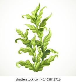 Green algae marine object isolated on white background