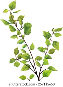 green birch tree leaves, bush branch with fresh leaves isolated on white background