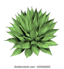 green Bush agave of red top view sketch vector graphics color picture