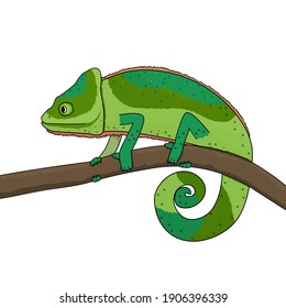 A green chameleon moves along a branch of a tree or plant. Animal is isolated on white background
