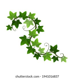 Green climbing ivy creeper branch isolated on white background. Hedera vine botanical design element. Vector illustration of hanging or wall climbing ivy plant