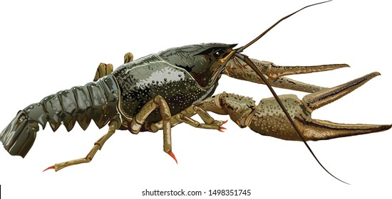 green crayfish on a white background