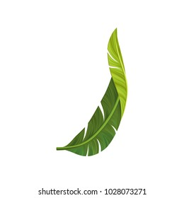 Green curved leaf of banana palm tree with realistic light and shadow. Tropical theme. Design element for postcard or print. Detailed flat vector illustration