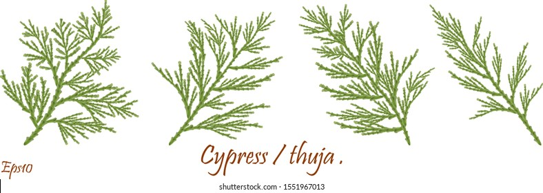 green cypress branch with cones. Cypress twig with growing cones isolated on white background. Cupressus.Eps 10