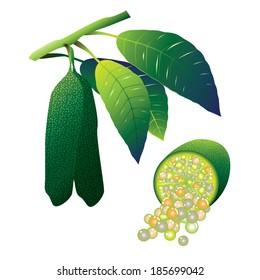 Green finger lime (Microcitrus australasica) vector