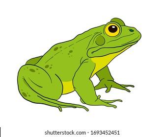 green frog sitting. vector illustration