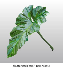The green giant philodendron leaf.(vector)