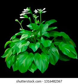 Green Hosta plantaginea with white flowers isolated in black background, garden plant, vector . Green hosta shrub. Plant for the landscape.
