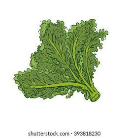 Green kale isolated on white background. Fresh leafy vegetable, plant kale. Vector illustration of kale. Healthy, green, vegetarian food. Hand drawn kale leaves. Healthy meal concept.