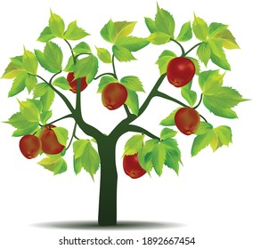 Green leaf apple tree isolated on white background