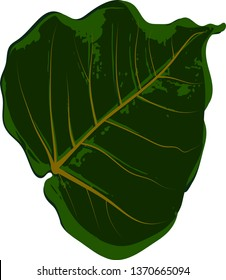 Green leaves, bodhi leaf isolated white background (Peepal and Pho leaves) decorated with vector illustrations of Buddhism And tropical leaves