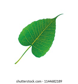 Green leaves of Bodhi tree , Ficus religiosa or Sacred fig ,Symbols of Buddhism Vector Illustration.