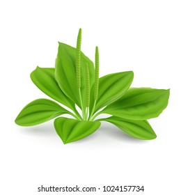 Green leaves of Plantago major (Broad-leaf Plantain, white Mans Foot, or Greater Plantain). Illustration on a White Background