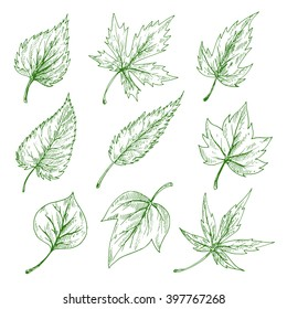 Green leaves sketches of maple and birch, elm, willow and sycamore trees. Nature, botany and ecology themes