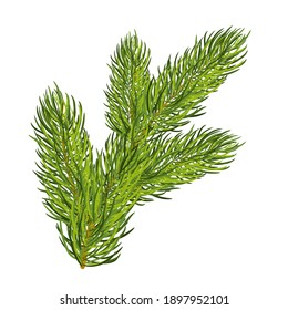 Green lush spruce branch. Isolated on white. Vector illustration