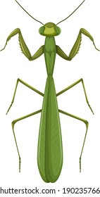 Green mantis or grasshopper isolated on white background illustration