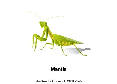 Green mantis rice on the white background,vector,isolated,Predator.