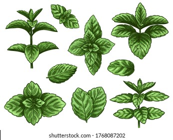 Green mint leaves. Sketch peppermint herb, spearmint plant. Melissa menthol leaf vintage hand drawn vector botanical isolated set. Healthy aroma, herbal natural plant isolated on white background