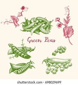 Green peas and pea pod close up on white. Vintage hand drawn vector illustration