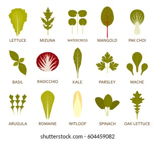 Green salad leaves isolated on the white background. Vector illustration.