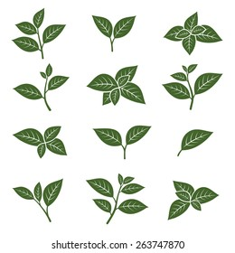 Green tea leaf collection set. Vector
