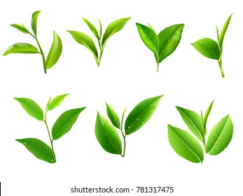Green tea leaf collection set. Vector illustration