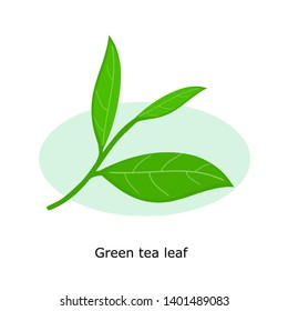Green tea leaf isolated on  white background vector illustration.