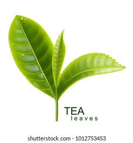 Green tea. Sprig of tea. Vector illustration.