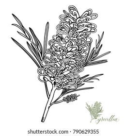 Grevillea Hand-drawn Vector Illustration