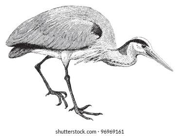 Grey Heron (Ardea cinerea) / vintage illustration from Meyers Konversations-Lexikon 1897