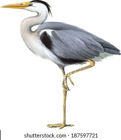 Grey Heron standing, Ardea Cinerea, isolated on white