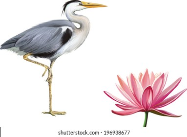 Grey Heron standing hunting with head bent down, Ardea Cinerea, isolated on white