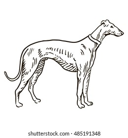 greyhound dog freehand pencil, hand drawn, isolated on white background.