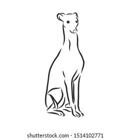 greyhound dog sketch, contour vector illustration